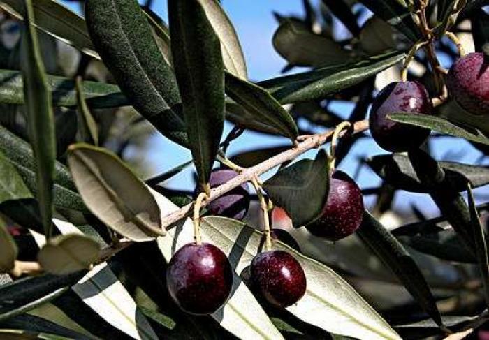 В Крыму приступили к выращиванию субтропических плодовых культур